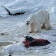 La nuova dieta dell'orso polare: ora mangia delfini. Colpa del cambiamento climatico 01