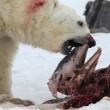 La nuova dieta dell'orso polare: ora mangia delfini. Colpa del cambiamento climatico 02