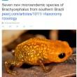 Amazzonia, scoperte 7 rane piccolissime più letali del cianuro FOTO