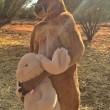 Roger, il canguro palestrato: 89 kg di muscoli per 2 metri di altezza03