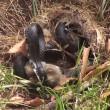VIDEO YouTube. Mamma coniglio combatte col serpente per difendere cuccioli