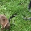 VIDEO YouTube. Mamma coniglio combatte col serpente per difendere cuccioli5