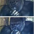 Shabani, il gorilla sexy che piace alle giapponesi FOTO 2