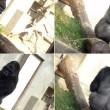 Shabani, il gorilla sexy che piace alle giapponesi FOTO