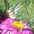 Farfalla di Longobardi