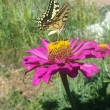 Farfalla di Longobardi 2