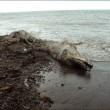 VIDEO YouTube. Misteriosa creatura spiaggiata in Siberia: delfino con pelliccia?