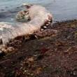 VIDEO YouTube. Misteriosa creatura spiaggiata in Siberia: delfino con pelliccia? 2