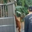 orango femmina di 5 anni si fa giro nello zoo e torna nel recinto6