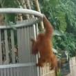 orango femmina di 5 anni si fa giro nello zoo e torna nel recinto4
