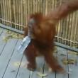 orango femmina di 5 anni si fa giro nello zoo e torna nel recinto3