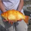Canada, divieto gettare nel wc i pesci rossi: crescono a dismisura e diventano un problema FOTO