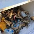 Australia, 75 teste coccodrillo marino abbandonate in un frigo3