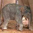 VIDEO YouTube - Elefantino cammina poco dopo essere nato 03