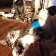 Gatti nani: Elfie&Gibli star del web grazie alle zampe mini