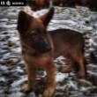 Russia regala a Francia cucciolo Dobrynia dopo morte Diesel