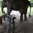 Elefante ha protesi senza gamba per colpa di una mina