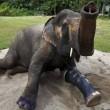 Elefante ha protesi senza gamba per colpa di una mina4