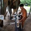 Elefante ha protesi senza gamba per colpa di una mina3