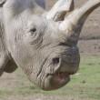 Nola, rinoceronte bianco morto. Ne restano solo tre FOTO