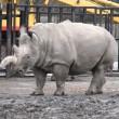 Nola, rinoceronte bianco morto. Ne restano solo tre FOTO 3