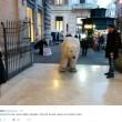 """Orso polare """"in giro"""" per Roma: provocazione di Greenpeace8"""