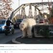 """Orso polare """"in giro"""" per Roma: provocazione di Greenpeace2"""