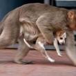 Cane adottato dal macaco. In cerca di cibo insieme6