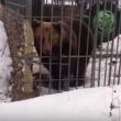 YOUTUBE Ubriaco mette la mano nella gabbia e l'orso... 2