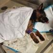 Jethro, cane poliziotto ferito star di Instagram FOTO