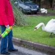 Cigni aggressivi: anziani si difendono con i bastoni3