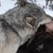 Kekoa, il lupo che bacia la sua amica Danielle2
