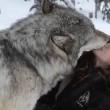 Kekoa, il lupo che bacia la sua amica Danielle