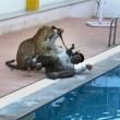 YOUTUBE Leopardo entra in una scuola, panico e 6 feriti 03