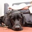 Labrador e bimbo autistico inseparabili anche in ospedale 4