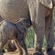 YOUTUBE Mamma elefante salva cucciolo caduto nel fango5