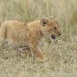 Mamma leone afferra cucciolo per la collottola2