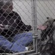 Pitbull non mangia veterinario entra in gabbia2