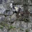 Pompieri salvano capra bloccata nella gola di montagna4