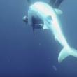 VIDEO YOUTUBE Squalo con amo in bocca: il sub lo salva