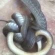 Serpente marrone australiano cannibale e velenosissimo5