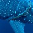 Squalo balena intrappolato in corda da pesca