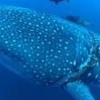 Squalo balena intrappolato in corda da pesca 5
