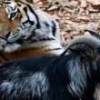 YOUTUBE Tigre Amur e capra Timur amicizia finita 2