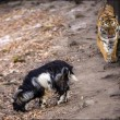 YOUTUBE Tigre Amur e capra Timur amicizia finita 3