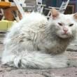 Dias gatto profugo da Iraq: appello per trovare sua famiglia01