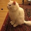 Dias gatto profugo da Iraq: appello per trovare sua famiglia03