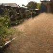 L'invasione dell'erba pelosa in Australia5