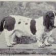 Boxer, Bull Terrier...cani cambiano in 100 anni per colpa8
