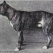 Boxer, Bull Terrier...cani cambiano in 100 anni per colpa10